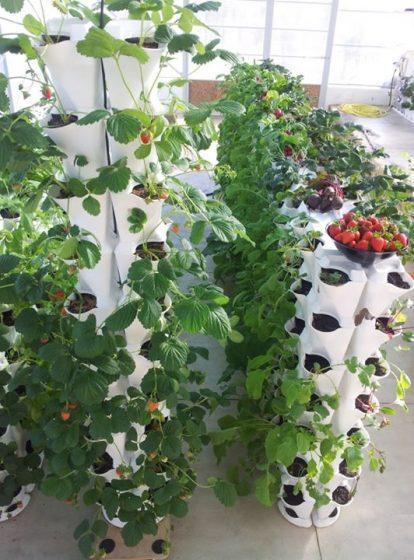 Вертикальное выращивание клубники в модулях 23